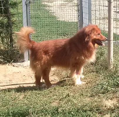 Razza cane pelo lungo marrone